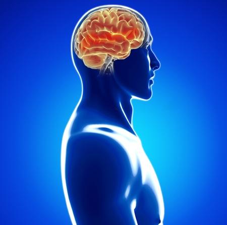 cerebral: human brain