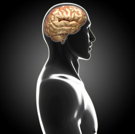 nerve system: human brain
