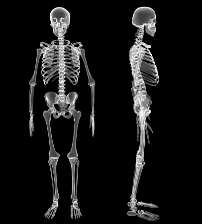 human bones: Male Human skeleton, two views