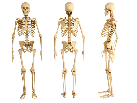Human skeleton, three views photo