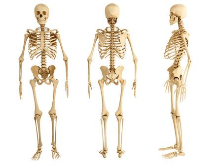 Squelette humain, trois vues