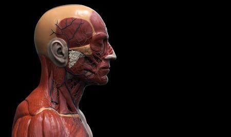 Head And Torso Anatomy Human Head And Shoulder Muscular Anatomy