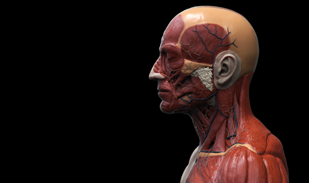 muscular anatomy: Head and torso anatomy , Human head and shoulder muscular anatomy in 3D render in black and white , medical reference images of the human anatomy