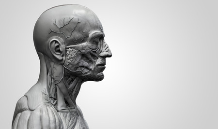 human face: Human body anatomy - muscle anatomy of the face neck and chest in realistic 3d rendering