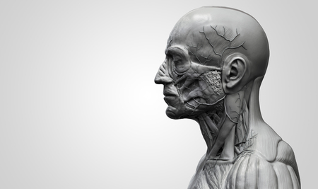 render: Human body anatomy - muscle anatomy of the face neck and chest in realistic 3d rendering