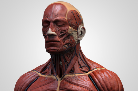 flesh surgery: Human body anatomy - muscle anatomy of the face neck and chest , medical image reference of human anatomy in 3D realistic render