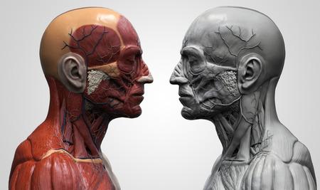 anatomie humaine: l'anatomie du corps humain - anatomie musculaire du visage cou et à la poitrine, référence image médicale de l'anatomie humaine en 3D rendu réaliste