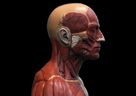 anatomically: Human body anatomy - muscle anatomy of the face neck and chest , medical image reference of human anatomy in 3D realistic render