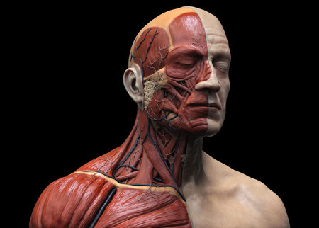 Human body anatomy - muscle anatomy of the face neck and chest , medical image reference of human anatomy in 3D realistic render