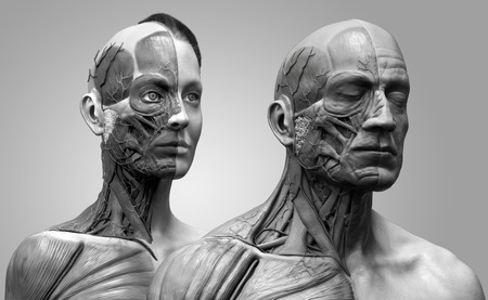 anatomically: Human body anatomy , male and female anatomy background  , muscle anatomy of the face neck chest and shoulder ,realistic 3D rendering