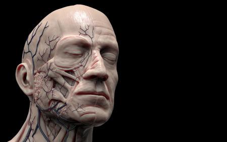 figura humana: anatomía cabeza aislada, referencia de la imagen médica de la anatomía humana, la representación realista en 3D