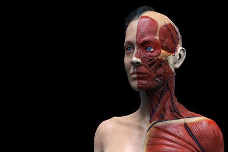 ヘルスケア: 人体解剖学、女性、女性筋肉解剖学の分離、顔首と胸の 3 d レンダリング 写真素材