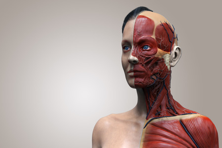 muscular anatomy: Human body anatomy of a female ,woman muscular anatomy isolated , 3d render of the face neck and chest Stock Photo