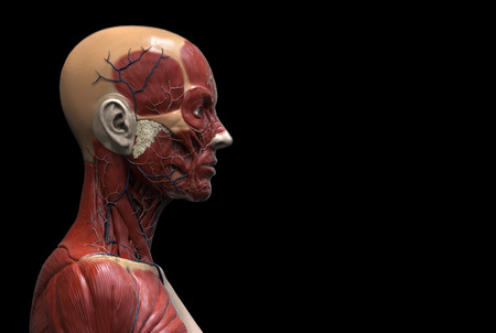 flesh surgery: Human body anatomy of a female - muscle anatomy of the face neck and chest , medical image reference of human anatomy in 3D realistic render isolated