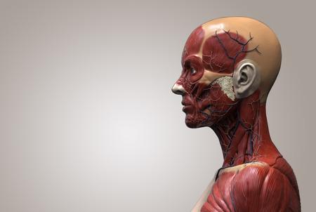 Der menschliche Körper Anatomie eines weiblichen - Muskelanatomie des Gesichts Hals und Brust, medizinische Bildreferenz der menschlichen Anatomie in 3D realistisch render isoliert Standard-Bild - 64471721