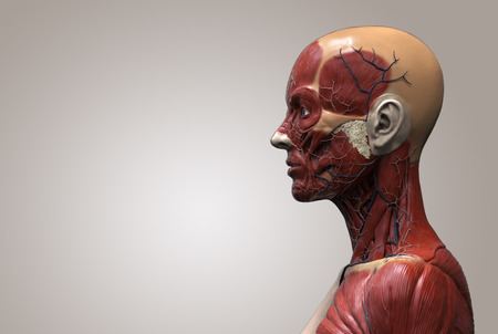Human body anatomy of a female - muscle anatomy of the face neck and chest , medical image reference of human anatomy in 3D realistic render isolated