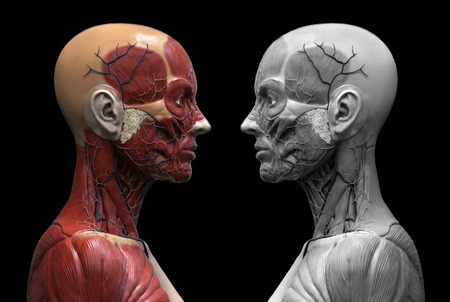 Human anatomy - muscle anatomy of the face neck and shoulder of a female  , realistic 3d rendering