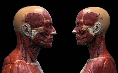 flesh surgery: Human body anatomy background , male and female , muscle anatomy of the face neck chest and shoulder ,realistic 3D rendering