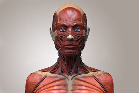 woman muscle: Human anatomy of a female - muscle anatomy of the face neck and chest , medical image reference of human anatomy in 3D realistic render isolated Stock Photo