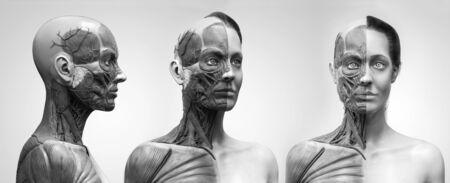 Anatomía del cuerpo humano de una mujer - estructura de los músculos de una mujer Foto de archivo