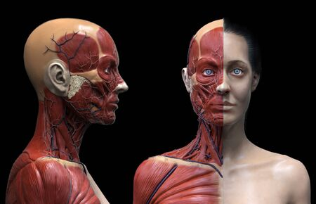 Human body anatomy of a woman - muscles structure of a female