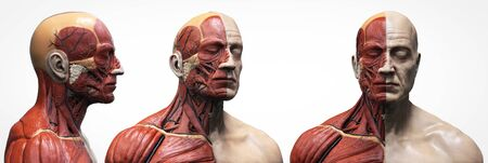 Human body anatomy of a man - muscles structure of a male Stockfoto