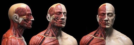Human body anatomy of a man - muscles structure of a male