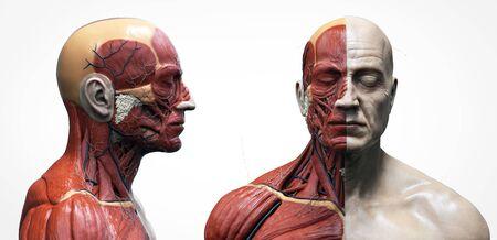 Anatomie van het menselijk lichaam van een man - spierstructuur van een man