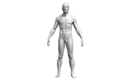 Human body anatomy of a man in front view isolated in white background - 3d rendering