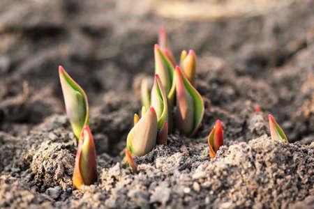 rural development: tulip sprouts  macro shot