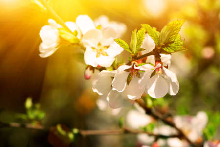flowering branch of cherry at sunset  photo
