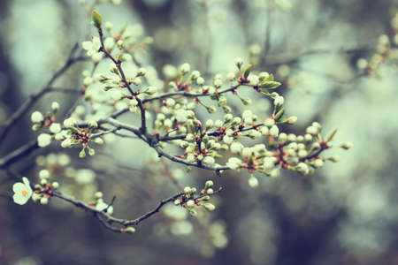 apricot tree buds in spring  photo