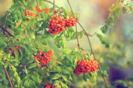 guelder rose berry: beautiful viburnum branches in park