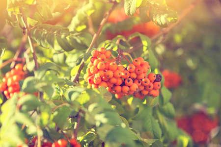 guelder rose berry: viburnum branch