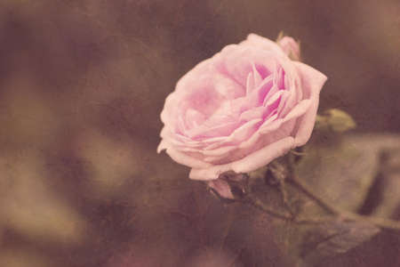 cute pink rose in vintage style close up  photo