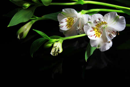 magic lily: White lilies on a black background