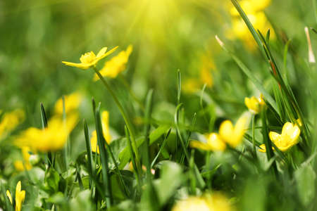 delicate yellow spring flower  macro shot  photo