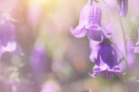 bluebell flowers  photo