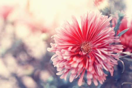 autumnal red aster close up  photo