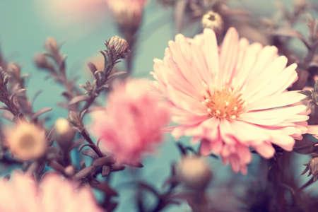 pink lovely autumn aster  Standard-Bild