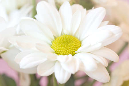 macro shot of chamomile on a delicate pale pink background  photo