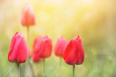 lovely tulips  photo