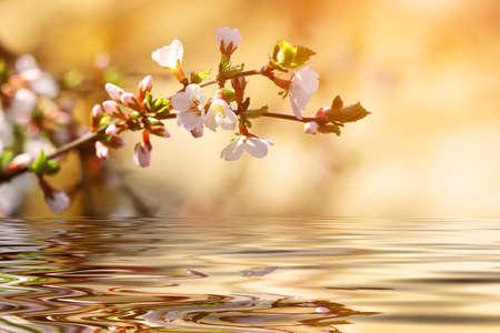 flowering cherry tree branch over the water  Standard-Bild