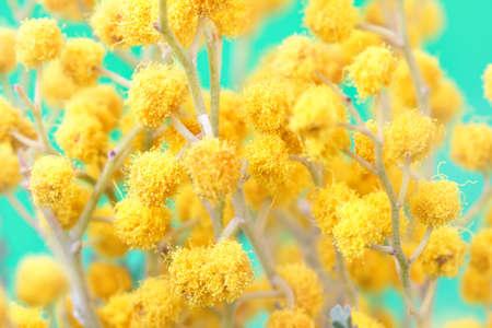 spring mimosa twigs photo