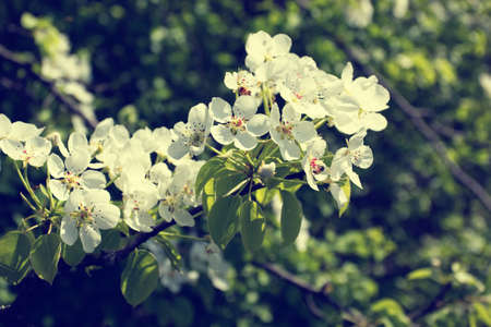 blooming branch with white flowers photo