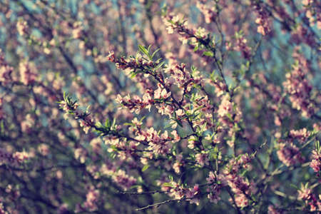 blooming branches with pink flowers in spring photo