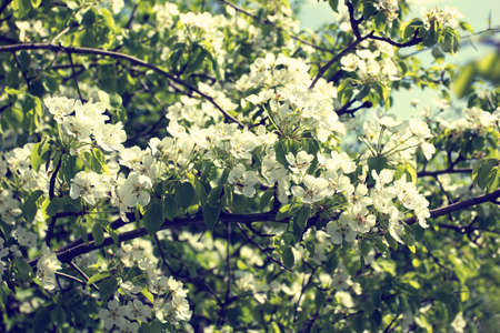 spring blooming twig with white flowers in a garden  photo