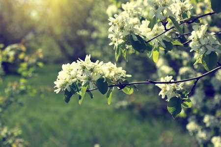 blooming twig with white flowers in a garden  photo