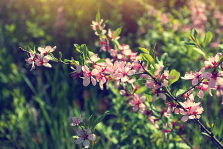 spring blooming twig with delicate pink flowers photo