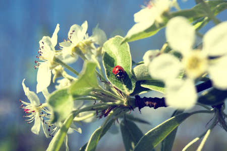 ladybug on a blooming tree branch  photo